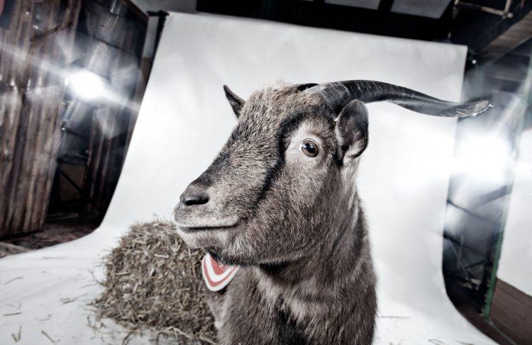 Thomas Fähnrich Fotografie - Goat
